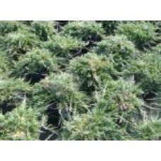 Можжевельник горизонтальный `Wiltonii` | Контейнер 13х13 см | 2|15|15 | Juniperus horizontalis Andora Compacta`