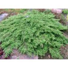 Можжевельник обыкновенный `Green Carpet` | Контейнер 13х13 см | 2|15|15 |