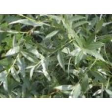 Ива серебристая   Открытый грунт   3 190 0   Salix alba f. argentea