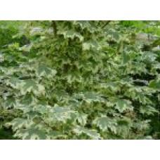 Клен остролистный `Drummondii` (10-12см) | Открытый грунт | 4|400|0 | Acer platanoides `Drummondii`