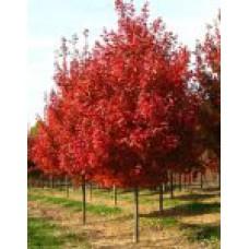 Клен красный (10-12см) | Открытый грунт | 4|400|0 | Acer rubrum