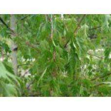 Береза повислая `Laciniata` (10-12см) | Открытый грунт | 4|400|0 | Betula pendula `Laciniata`