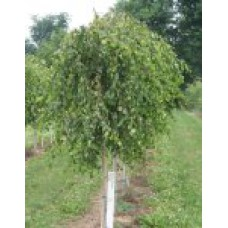 Береза повислая `Youngi` (8-10см) | Открытый грунт | 3|200|0 | Betula pendula `Youngi`