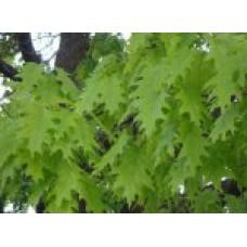 Дуб красный (10-12см) | Открытый грунт | 4|400|0 | Quercus rubra
