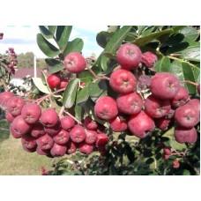 Рябина обыкновенная (сортовая) | Открытый грунт | 2|80|0 | Sorbus aucuparia