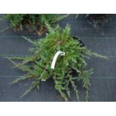 Можжевельник горизонтальный `Prince of Wales` | Контейнер 1,5 л | 2|15|15 | Juniperus horizontalis `Prince of Wales`