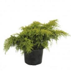 Можжевельник х средний `Old Gold`   Контейнер 5,0 л   2 20 25   Juniperus x media `Old Gold`