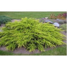 Можжевельник средний `Pfitzeriana Aurea` | Контейнер 1,5 л | 2|15|15 | Juniperus  x media `Pfitzeriana Aurea`