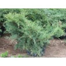 Можжевельник средний `Pfitzeriana Compacta`   Контейнер 5,0 л   2 20 25   Juniperus x media `Pfitzeriana Compacta`