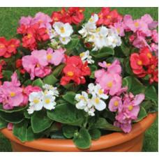 Бегония вечноцветущая | Горшок для рассады 9*8 |  | Begonia semperflorens