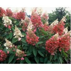 Гортензия метельчатая `Pinky Winky` | Пакет ПВД 3,5л | 2|15|0 | Hydrangea paniculata `Pinky Winky`
