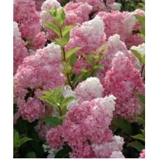Гортензия метельчатая `Vanille Fraise` | Пакет ПВД  7,5л | 2|15|0 | Hydrangea paniculata `Vanille Fraise`
