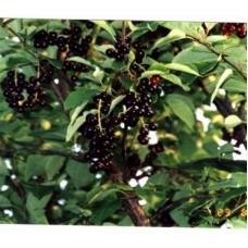Черемуха Маака (8-10см) | Контейнер 30 л | 3|200|0 | Prunus maackii