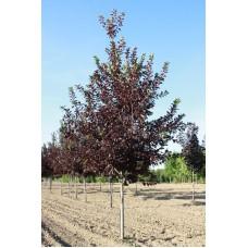Черемуха виргинская `Shubert` (8-10см) | Контейнер 30 л | 3|200|0 | Prunus virginiana `Shubert`